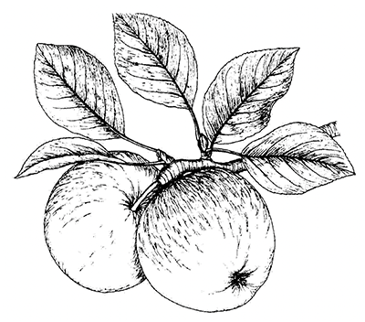obsternte-apfel2
